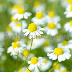 chamomile german oil Suppliers