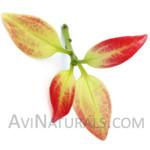 cinnamon leaf oil Suppliers