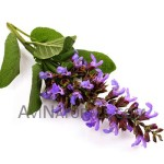 clary sage oil Suppliers