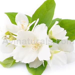 Jasmine oil wholesale supplier and manufacturer in india jasmine oil mightylinksfo