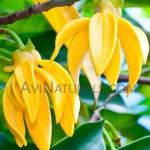 ylang ylang oil suppliers