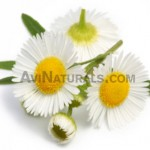 chamomile oil roman suppliers