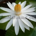 White-Lotus-Floral-Absolute-Oil