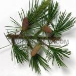 cedar-wood-hydrosol