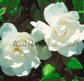 Gardenia oil wholesale suppliers buy pure gardenia essential oil gardenia oil mightylinksfo