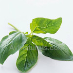 Basil Oil Suppliers