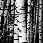 birch oil Suppliers