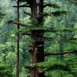 cedarwood himalayan hydrosol Suppliers