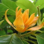 champa magnolia hydrosol Suppliers