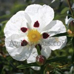 labdanum absolute Suppliers