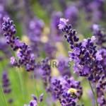 lavender hydrosol Suppliers