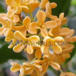 osmanthus absolute Suppliers
