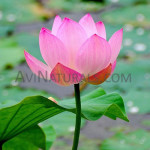 pink lotus absolute Suppliers