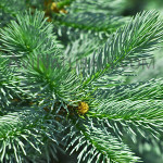 spruce oil Suppliers