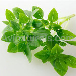 Sweet Basil Oil Suppliers