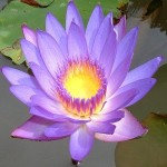 blue-lotus-attar