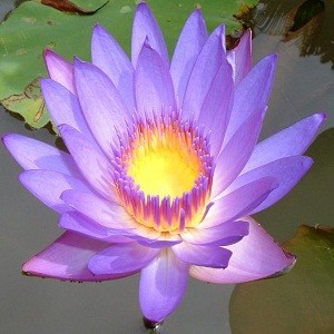 Blue Lotus Attar Wholesale Supplier And Manufacturer In India