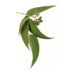 certified organic eucalyptus essential oil Suppliers