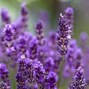 lavender oil india