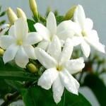 jasmine sambac attar Suppliers