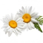 chamomile-german-oil-dilution-in-jojoba