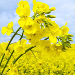 canola oil Suppliers