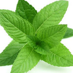 dried mint leaves Suppliers