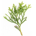 arborvitae-wild-essential-oil