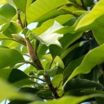 michelia-alba-leaf-essential-oil