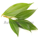 organic cinnamon leaf oil Suppliers